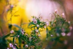 Flores pequenas brancas cor-de-rosa no fundo obscuro roxo cor-de-rosa amarelo mágico sonhador colorido, foco seletivo macio, macr Fotos de Stock