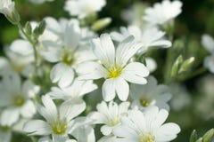Flores pequenas brancas em um gramado da floresta Fotos de Stock Royalty Free