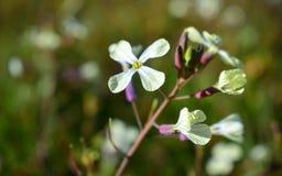 Flores pequenas brancas na floresta de Portugal Fotografia de Stock