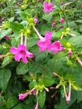 Flores pequenas cor-de-rosa de um Tromped Imagem de Stock Royalty Free