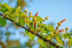 Flores pequenas da campânula, torcidas a um ramo de árvore, tomado em um dia ensolarado fotografia de stock