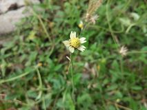 Flores pequenas da grama Fotografia de Stock