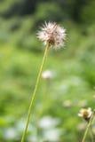 Flores pequenas da grama Imagens de Stock Royalty Free