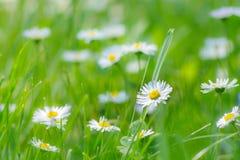 Flores pequenas da margarida branca na grama Fotos de Stock