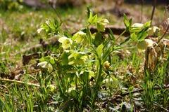 Flores pequenas da mola Fotografia de Stock Royalty Free
