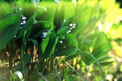 Flores pequenas da mola em um campo Imagens de Stock Royalty Free