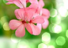 Flores pequenas de Rosa Fotografia de Stock Royalty Free