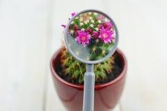 Flores pequenas do cacto através de uma lente de aumento imagens de stock