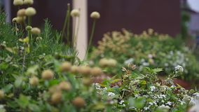 Flores pequenas na jarda Fim acima Foco seletivo video estoque
