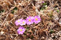 Flores pequenas nos Himalayas Imagem de Stock Royalty Free