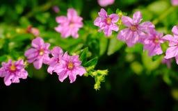 Flores pequenas vermelhas Fotografia de Stock