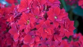 Flores pequenas vermelhas intensas não identificadas imagens de stock