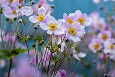 Flores perennes de la anémona japonesa Fotografía de archivo