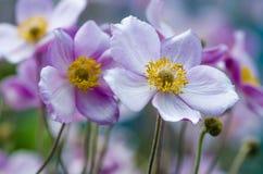 Flores perennes de la anémona japonesa Flor grande Imagen de archivo libre de regalías