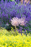 Flores perfumadas de la lavanda Imágenes de archivo libres de regalías
