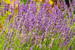 Flores perfumadas de la lavanda Foto de archivo libre de regalías