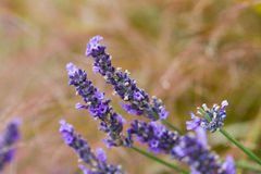 Flores perfumadas de la lavanda Imagen de archivo libre de regalías