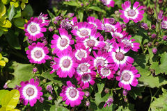Flores --- Pericallis Fotos de archivo libres de regalías