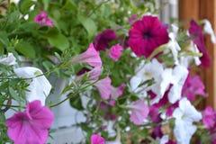 Flores, petunia, flora, estación, decoración Imagenes de archivo