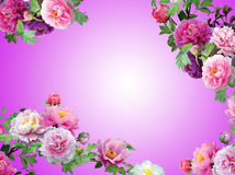Flores Pinky isoladas, frame floral da orquídea Imagens de Stock