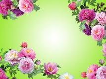 Flores Pinky isoladas, frame floral da orquídea Foto de Stock