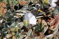 Flores pioneiras do fúcsia do parque foto de stock