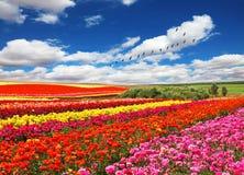 Flores plantadas com as faixas de cores brilhantes Imagem de Stock Royalty Free