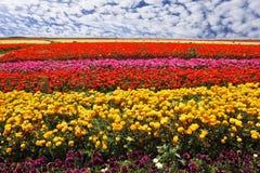 Flores plantadas de cores brilhantes Fotos de Stock Royalty Free