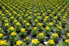 Flores Potted Foto de Stock