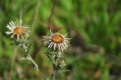 Flores prateadas de um cardo carlino Imagem de Stock Royalty Free