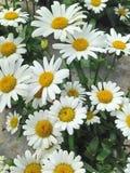 Flores preciosas de Marguerite Daisy del blanco y del yellwo Imagen de archivo