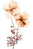 Flores pressionadas Fotos de Stock Royalty Free