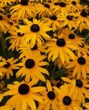 Flores pretas & amarelas Fotografia de Stock Royalty Free