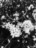 Flores preto e branco Fotografia de Stock Royalty Free