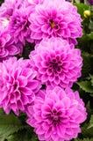 Flores púrpuras de la dalia en la floración Imagen de archivo