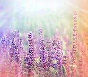 Flores (púrpuras) del prado iluminadas por la luz del sol Foto de archivo libre de regalías