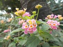 Flores prudentes vermelhas do camara do Lantana Fotos de Stock
