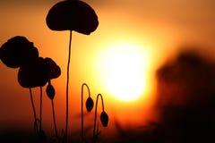 Flores - puesta del sol Fotografía de archivo libre de regalías