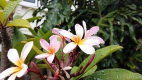 Flores punkyes del Frangipani que soplan en viento y lluvia metrajes