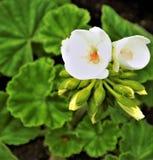 Flores puras Imagem de Stock