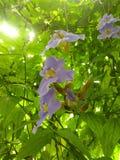 Flores purpúreas claras Imagen de archivo libre de regalías
