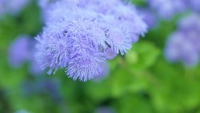 Flores purpúreas claras del ageratum en un jardín verde Fotografía de archivo