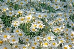 Flores que crescem naturalmente avante agradavelmente imagem de stock