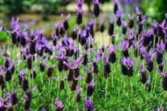 Flores que florescem no parque de Ashikaga em Japão imagens de stock royalty free