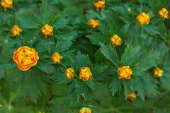 Flores que fríen el brote anaranjado del traje de baño en fondo verde Imágenes de archivo libres de regalías