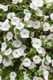 Flores que incluem petúnias nas cestas imagem de stock royalty free