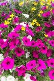 Flores que incluem petúnias nas cestas fotografia de stock royalty free