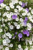 Flores que incluem petúnias nas cestas fotos de stock royalty free