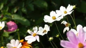 Flores que se sacuden en el viento y Honey Bee - cosmos Bipinnatus del cosmos del jardín almacen de video