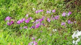 Flores que soplan del viento almacen de video